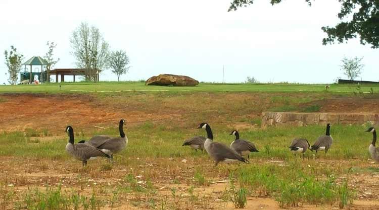 Corinth TX Geese
